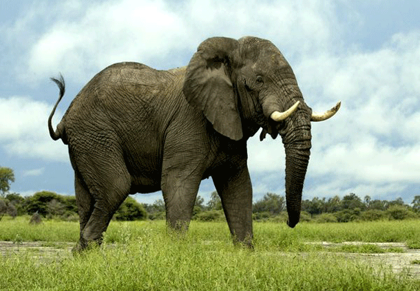 elephant-1 Top 25 Most Dangerous Animals In The World