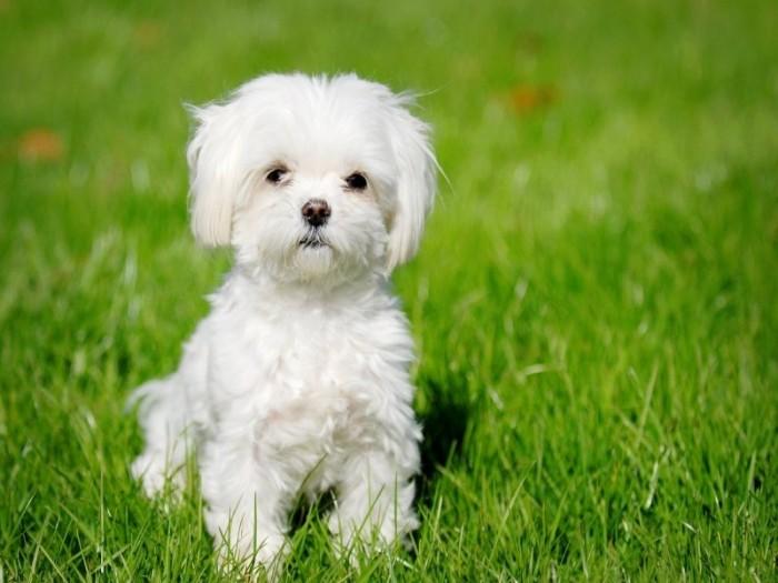 em_32825576-95dd-495c-9d3e-ec30a5ec0353 The Breed Profile For The Maltese Dog