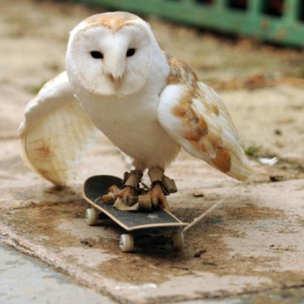 funny-animal-3-owl-skateboard Top 24 Funny And Laughable Animals