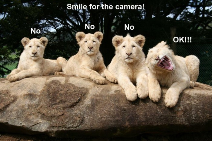 funny-animals-lions-smile-for-camera Top 24 Funny And Laughable Animals