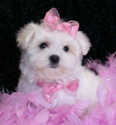hellehond The Breed Profile For The Maltese Dog