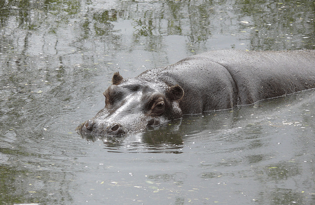 hippo-1 Top 25 Most Dangerous Animals In The World