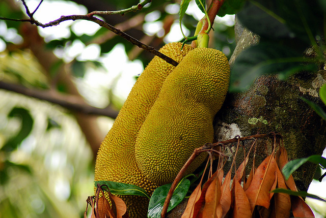 jackfruit 19 Weird Fruits From Asia, Maybe You Have Never Heard Of