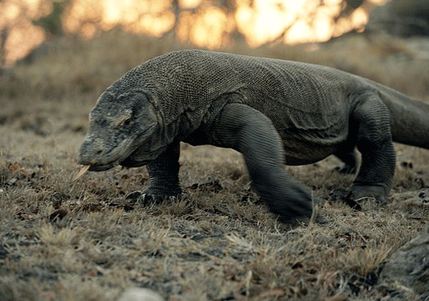 komodo-1 Top 25 Most Dangerous Animals In The World