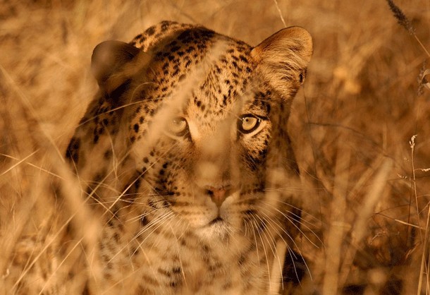 leopard-1 Top 25 Most Dangerous Animals In The World