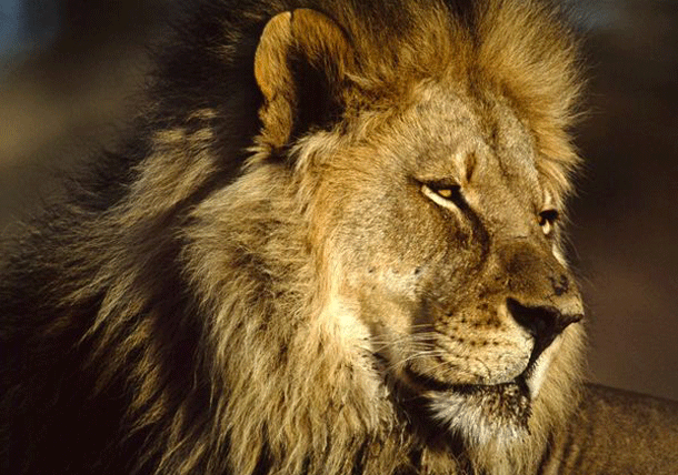 lion-1 Top 25 Most Dangerous Animals In The World