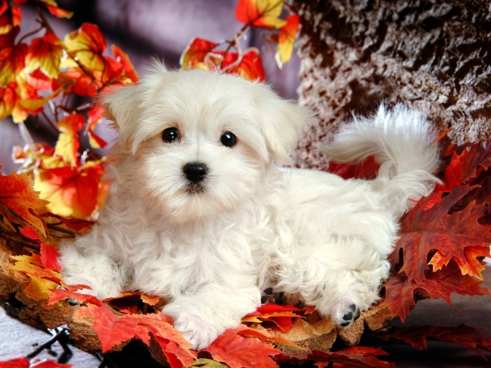 lovely_white_puppy_dog_83196 The Breed Profile For The Maltese Dog