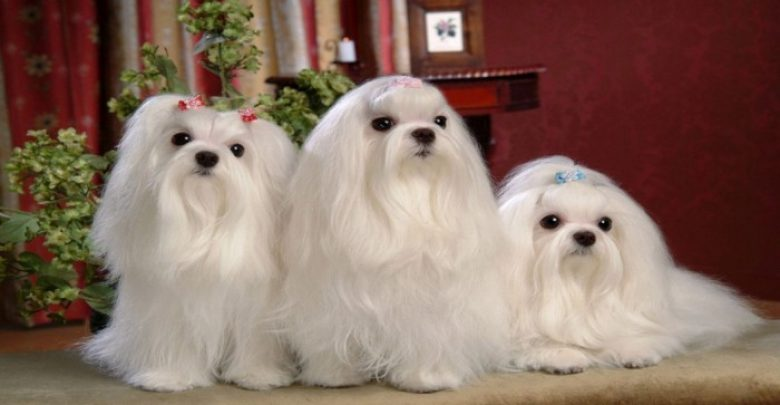 Photo of The Breed Profile For The Maltese Dog