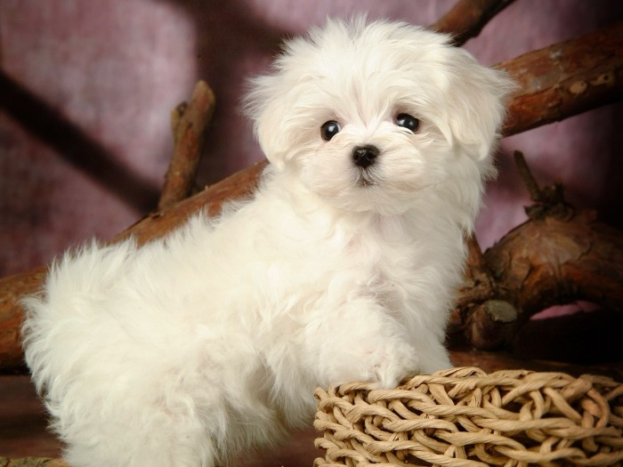 maltese-puppies-wallpaper-hd The Breed Profile For The Maltese Dog