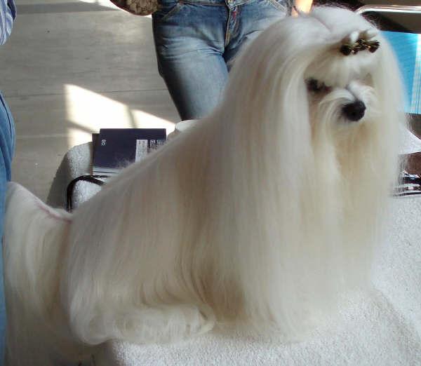 maltese The Breed Profile For The Maltese Dog