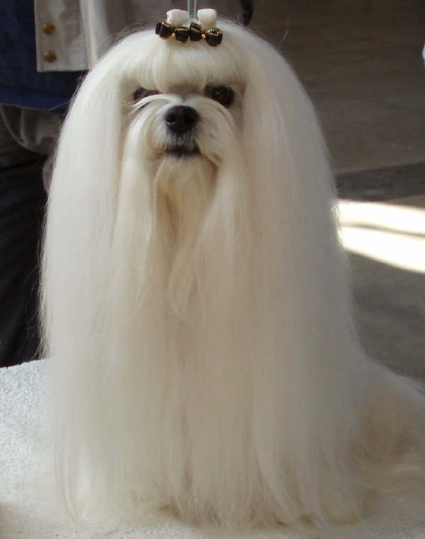 maltese1 The Breed Profile For The Maltese Dog