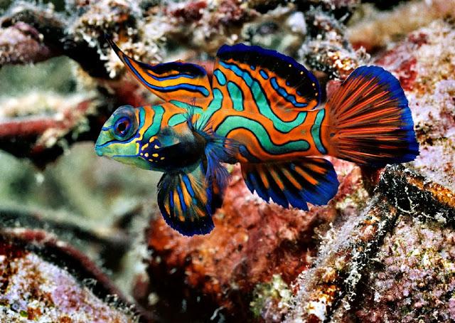 mandarin-fish7 Top 24 Unique Colorful Creatures Around The World