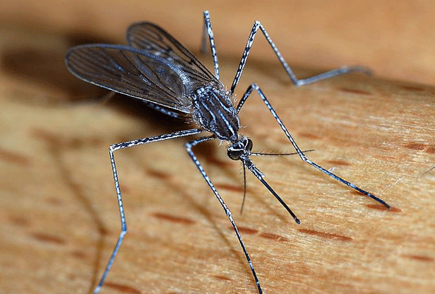 mosquito-1 Top 25 Most Dangerous Animals In The World