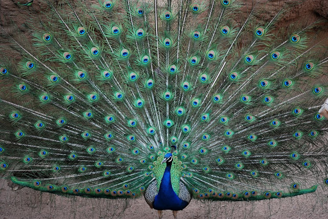 most-beautiful-and-colorful-bird-in-the-world-peacock-005 Top 24 Unique Colorful Creatures Around The World