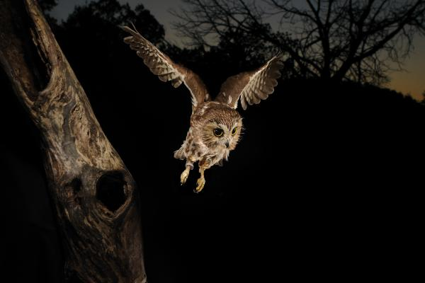 night-owl-scott-linstead Learn More And Find Out About What Makes Owls Unique