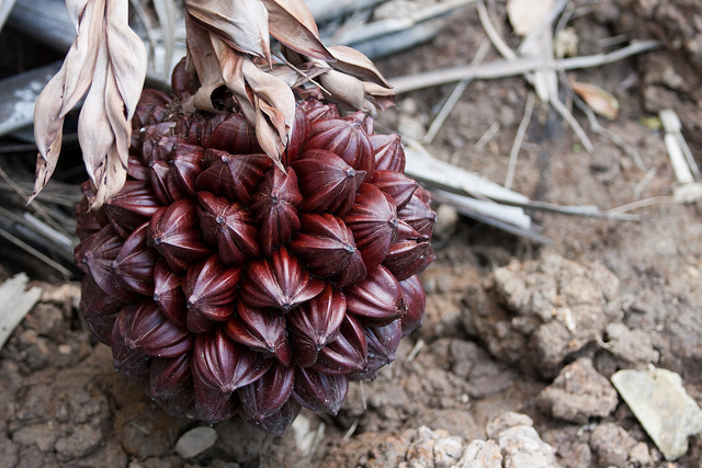 nipah 19 Weird Fruits From Asia, Maybe You Have Never Heard Of