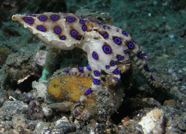 octopus1-1 Top 25 Most Dangerous Animals In The World