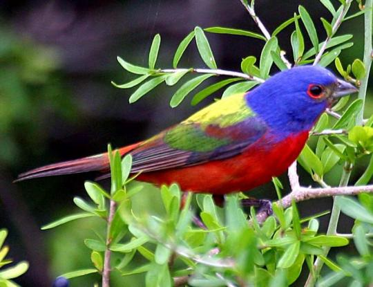 painted-bunting Top 24 Unique Colorful Creatures Around The World