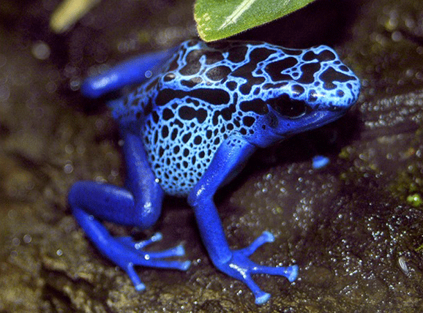poisonfrog-1 Top 25 Most Dangerous Animals In The World