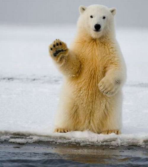 polar-bear-wave Top 24 Funny And Laughable Animals