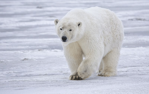 polarbear-1 Top 25 Most Dangerous Animals In The World