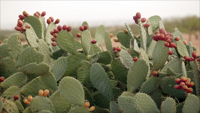 prickly-pair 23 Weird Fruits Which You Probably Have Never Eaten Before, But Should