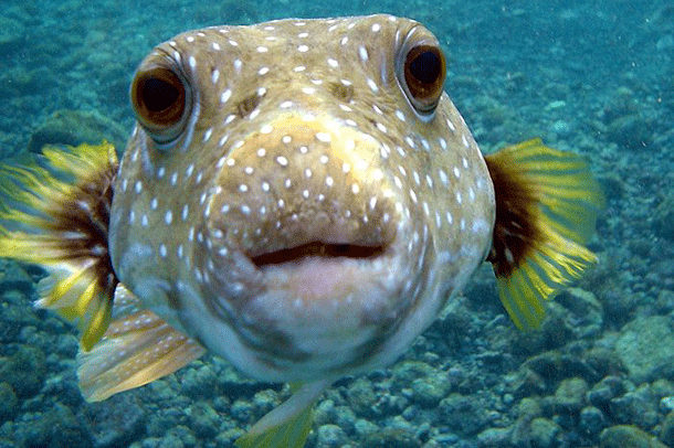 pufferfish-1 Top 25 Most Dangerous Animals In The World