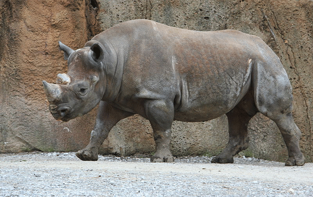 rhino-1 Top 25 Most Dangerous Animals In The World