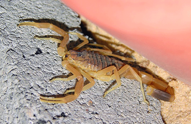 scorpion-1 Top 25 Most Dangerous Animals In The World