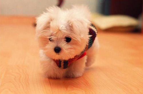 tumblr_m54j5ePX3X1rpvp69o1_500 The Breed Profile For The Maltese Dog