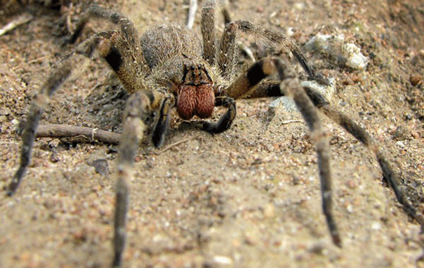 wanderingspider-1 Top 25 Most Dangerous Animals In The World
