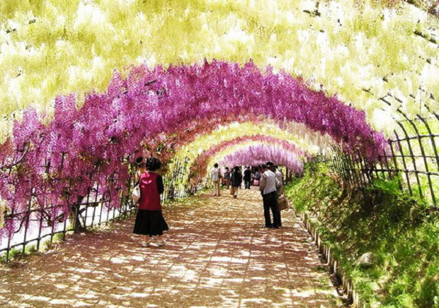 wisteria-tunnel-japan 25 Unbelivable Places Which You'll Hardly Believe Its Existence In The World