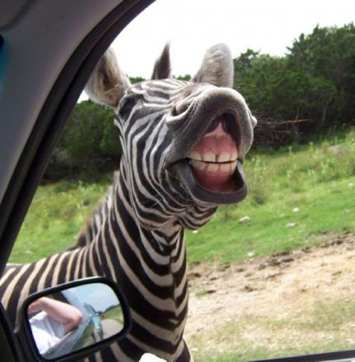 zebra1 19 Animals Making Funny Faces