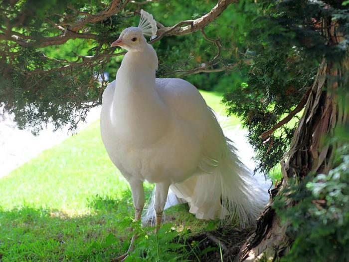 186348 Weird Peacocks Wear Wedding Dresses