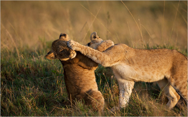 22roundup-african-articleLarge The African WildCat With Its Behavior And Characteristics