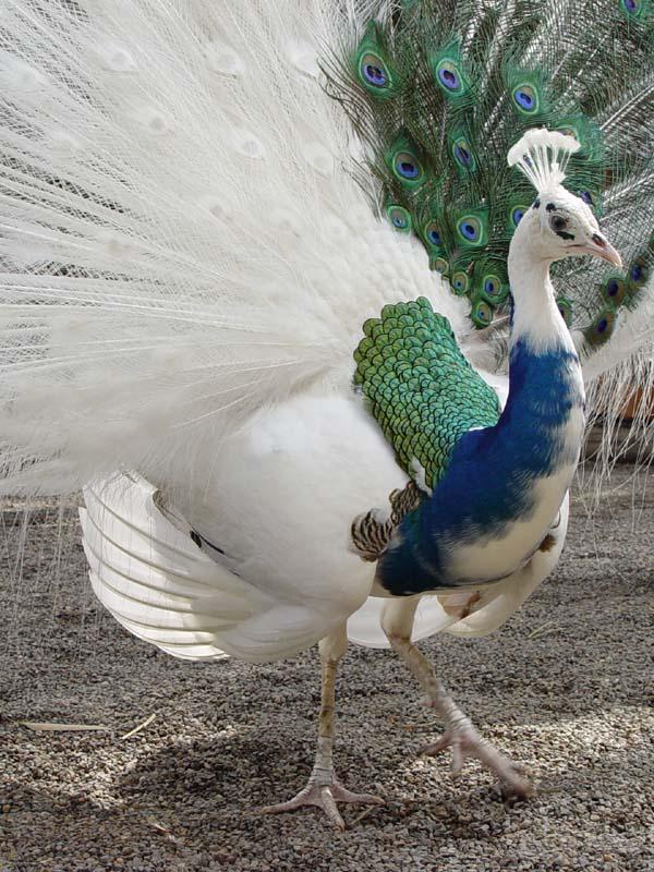 52808691.DSC04201 Weird Peacocks Wear Wedding Dresses