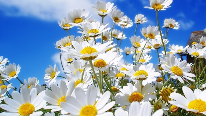 Chamomile-Flowers-HD-Wallpapers Do You Know How to Overcome Asian Glow?