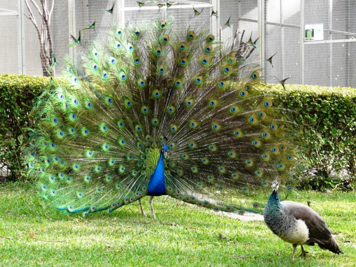 Male-Peacock-displaying Weird Peacocks Wear Wedding Dresses