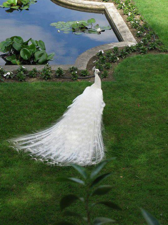 albino-peacock-lolworm Weird Peacocks Wear Wedding Dresses