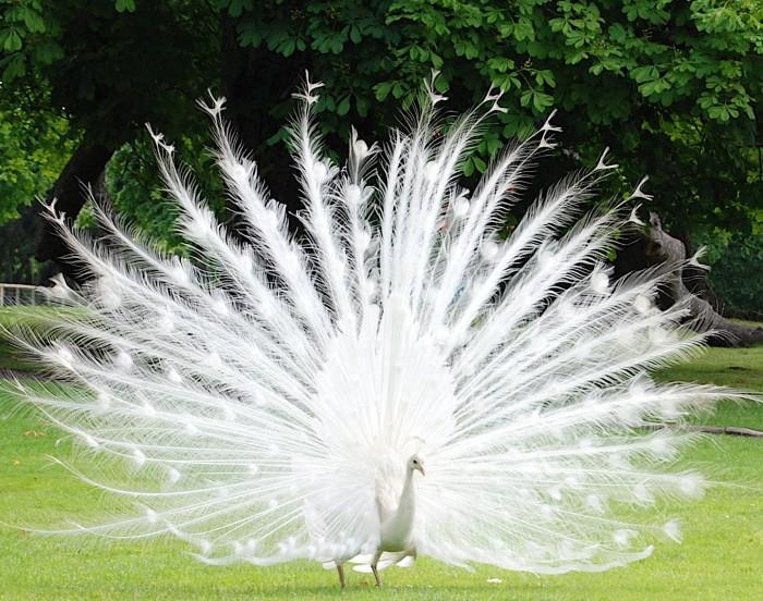 bird-albino-peacock-2 Weird Peacocks Wear Wedding Dresses
