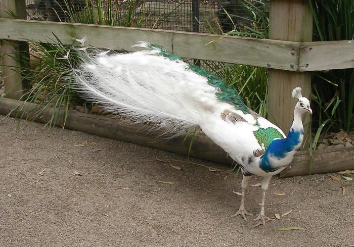 blue-white-peacock-albino-peacock-mixed-01 Weird Peacocks Wear Wedding Dresses