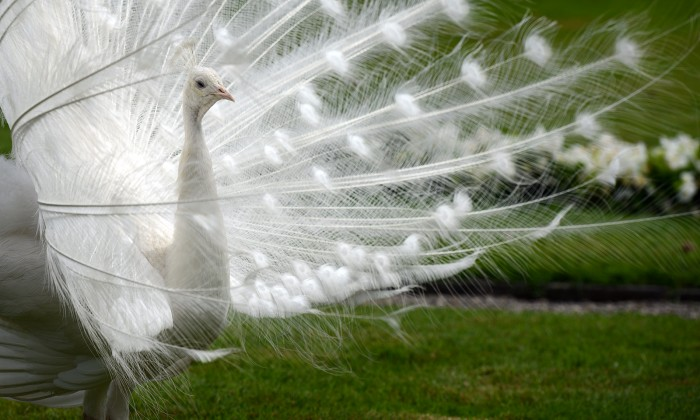dsc_3060 Weird Peacocks Wear Wedding Dresses