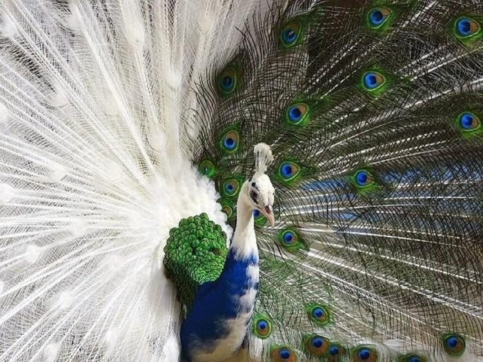 half-albino-peacock Weird Peacocks Wear Wedding Dresses