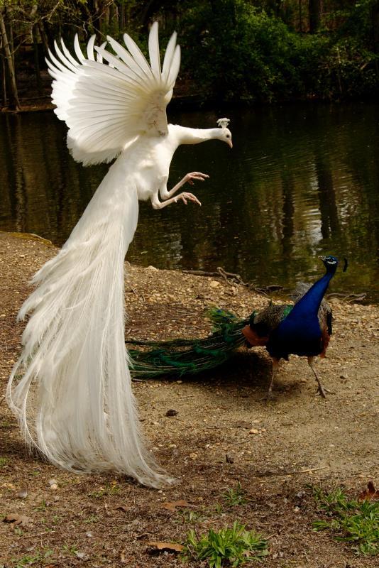 matrix-peacock Weird Peacocks Wear Wedding Dresses