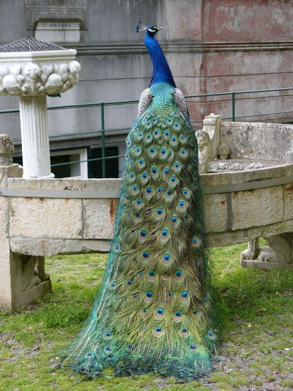 peacock-peafowl-animal-bird-18 Weird Peacocks Wear Wedding Dresses