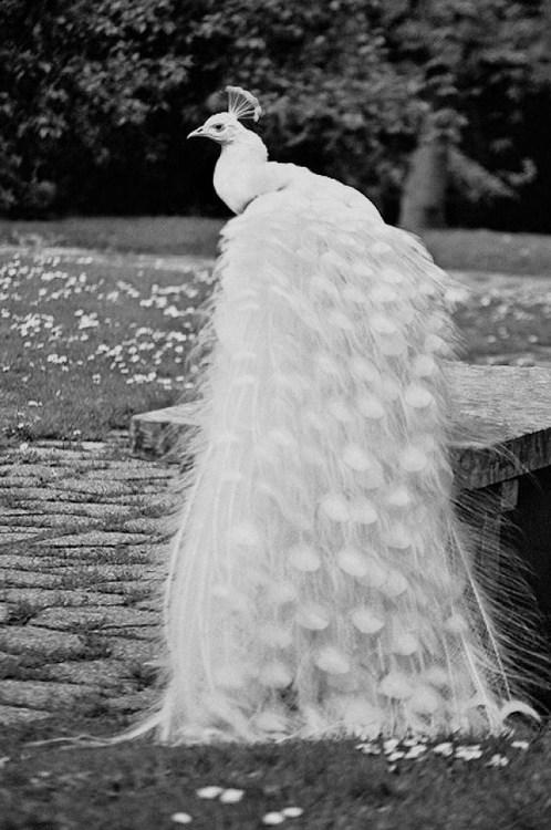 tumblr_mf6u08nqSv1qcz8ujo1_500 Weird Peacocks Wear Wedding Dresses