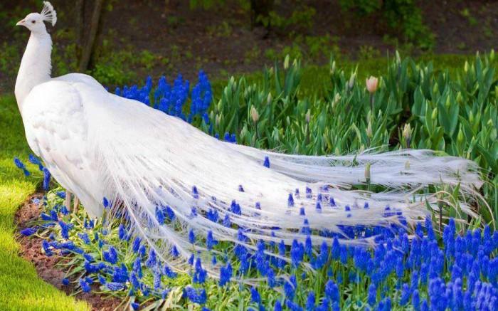 white-peacock-blue-flowers Weird Peacocks Wear Wedding Dresses