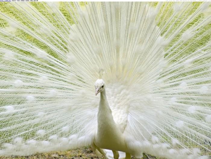 white-peacock Weird Peacocks Wear Wedding Dresses