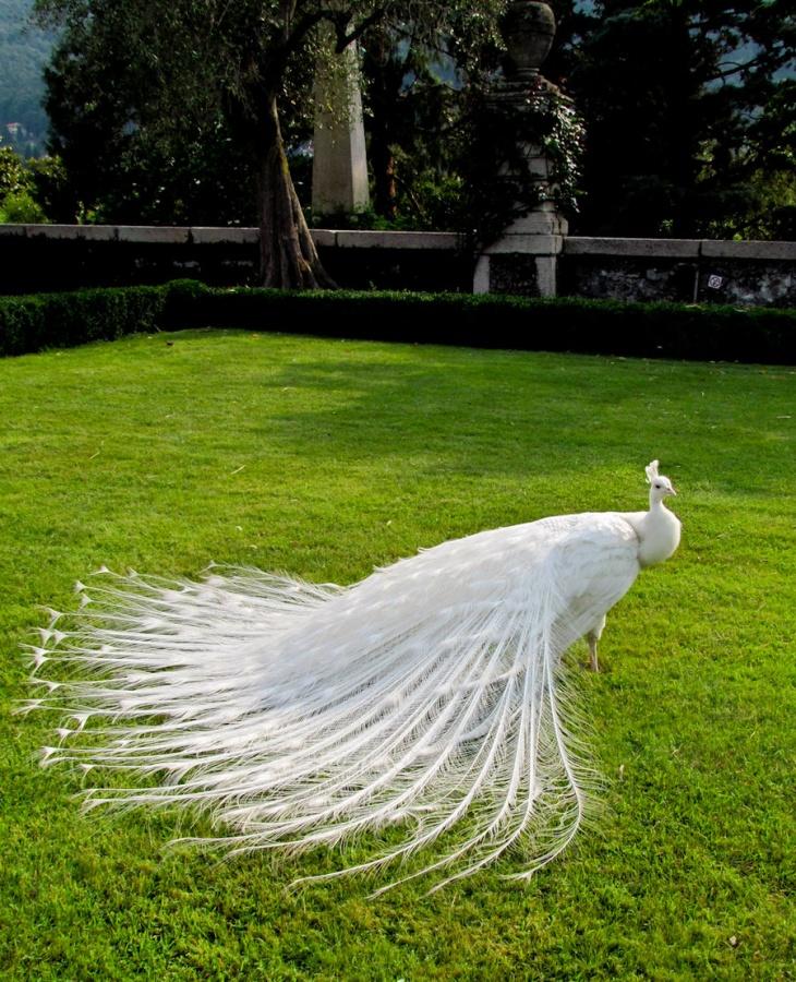 white_peacock_by_flammechant-d5clyzu Weird Peacocks Wear Wedding Dresses