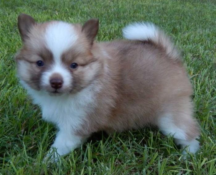 1238896_332280676916252_2081279531_n Do You Like to Get a Pomsky Puppy?